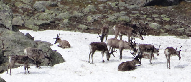 Rentiere im Fjäll Lapplands