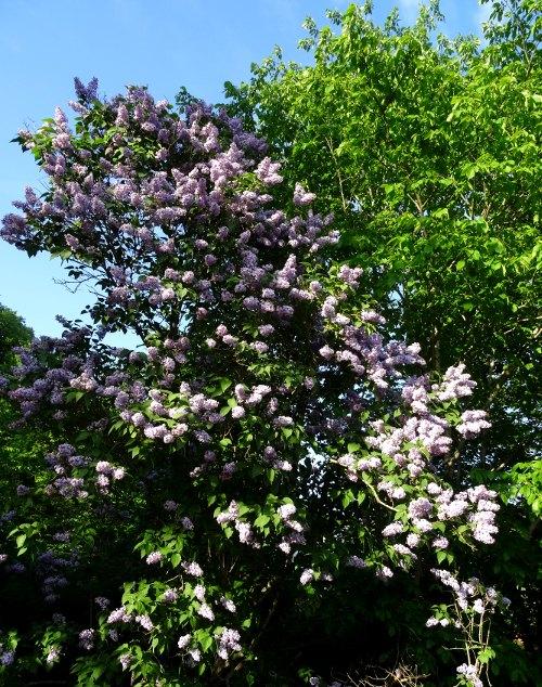 Skandinavischer Garten: Fliederbusch